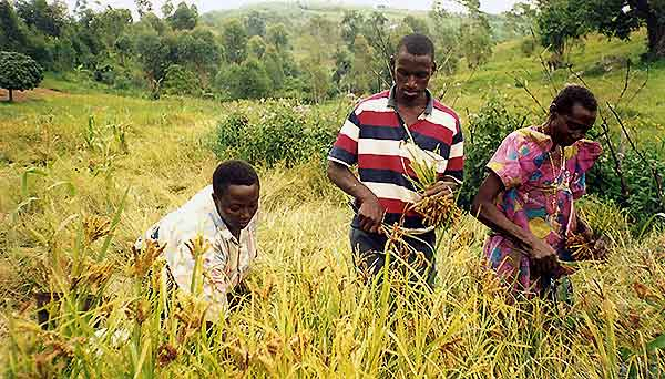 FANTA's Francis Muhanguzi's family members harvest millet from the family farm in Uganda.