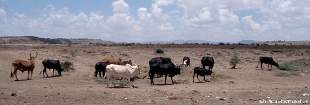 Cattle attempt to graze in parched agricultural land between the capital of Addis Ababa and the town of Nazret, Ethiopia. This now barren landscape had been forest in the 1970's. Copyright John Robinette, Photoshare