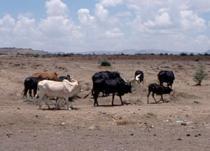 cattle roam in a brown dirt field